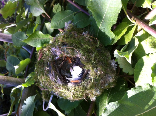 Birds nest summer 2013 west seattle (640x478)