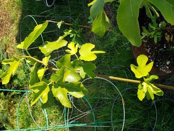 Bald Peak Figs Diamond G Farm resized July 20 2020