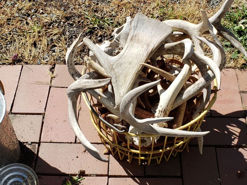 Shed Antlers Horns moose shovel on top resized  Alaska Washington 20200817_145257