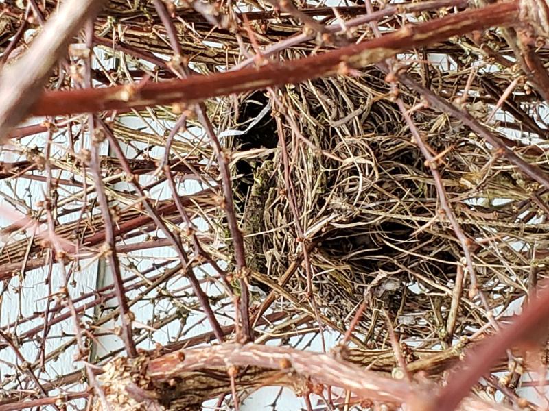 Bird's Nest in Barberry Shrub February 22 2020 20200211_094348