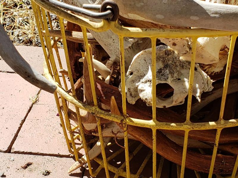 Shed Antlers Horns resized Alaska Washington close up in egg basket 20200817_145316
